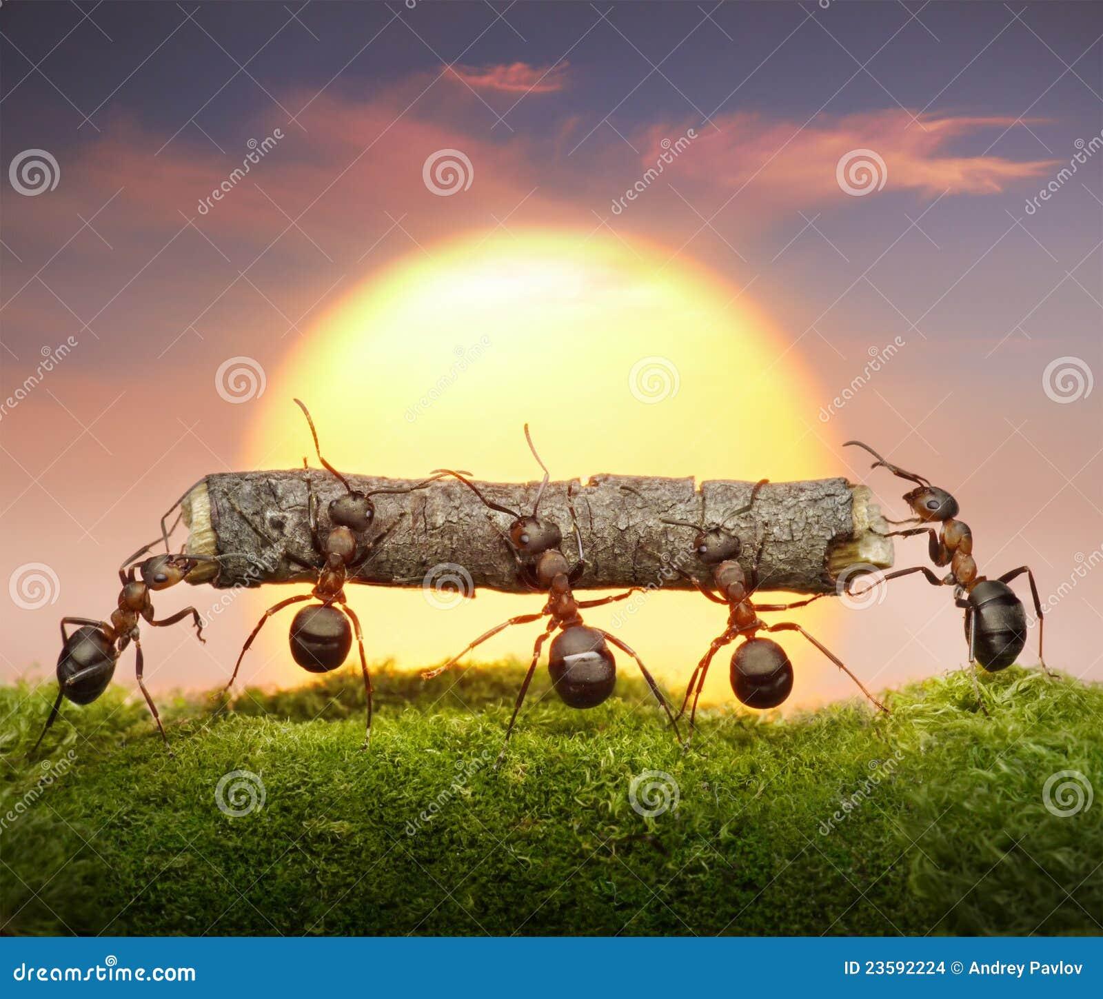 L équipe des fourmis portent le coucher du soleil de procédure de connexion, concept de travail d équipe