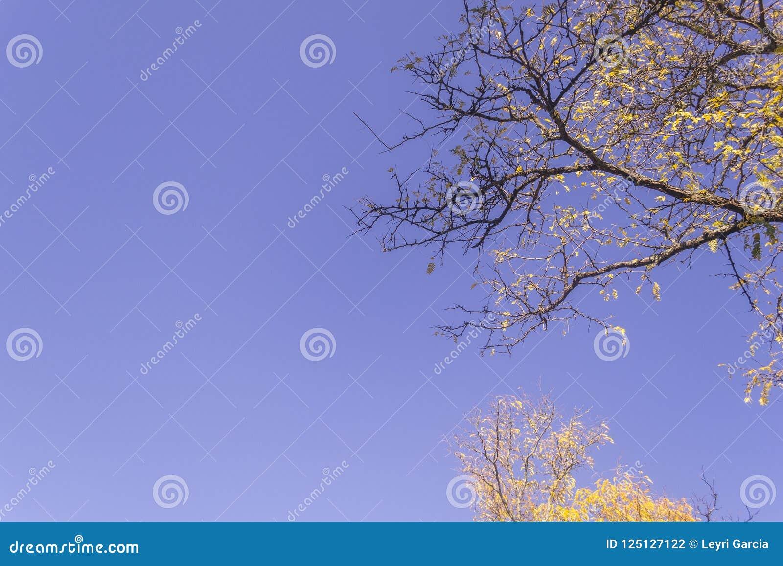 L érable jaune part pendant l automne contre le ciel bleu ensoleillé