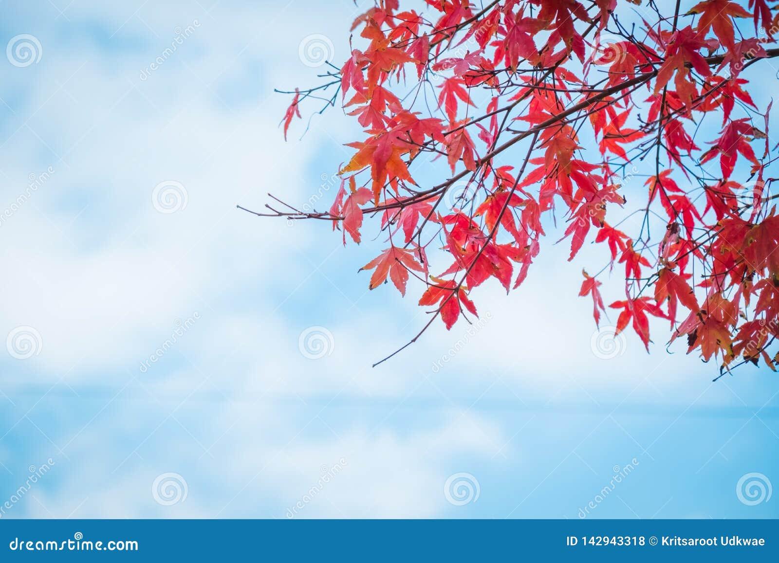 L érable rouge part avec le ciel bleu et le nuage dans la saison d automne