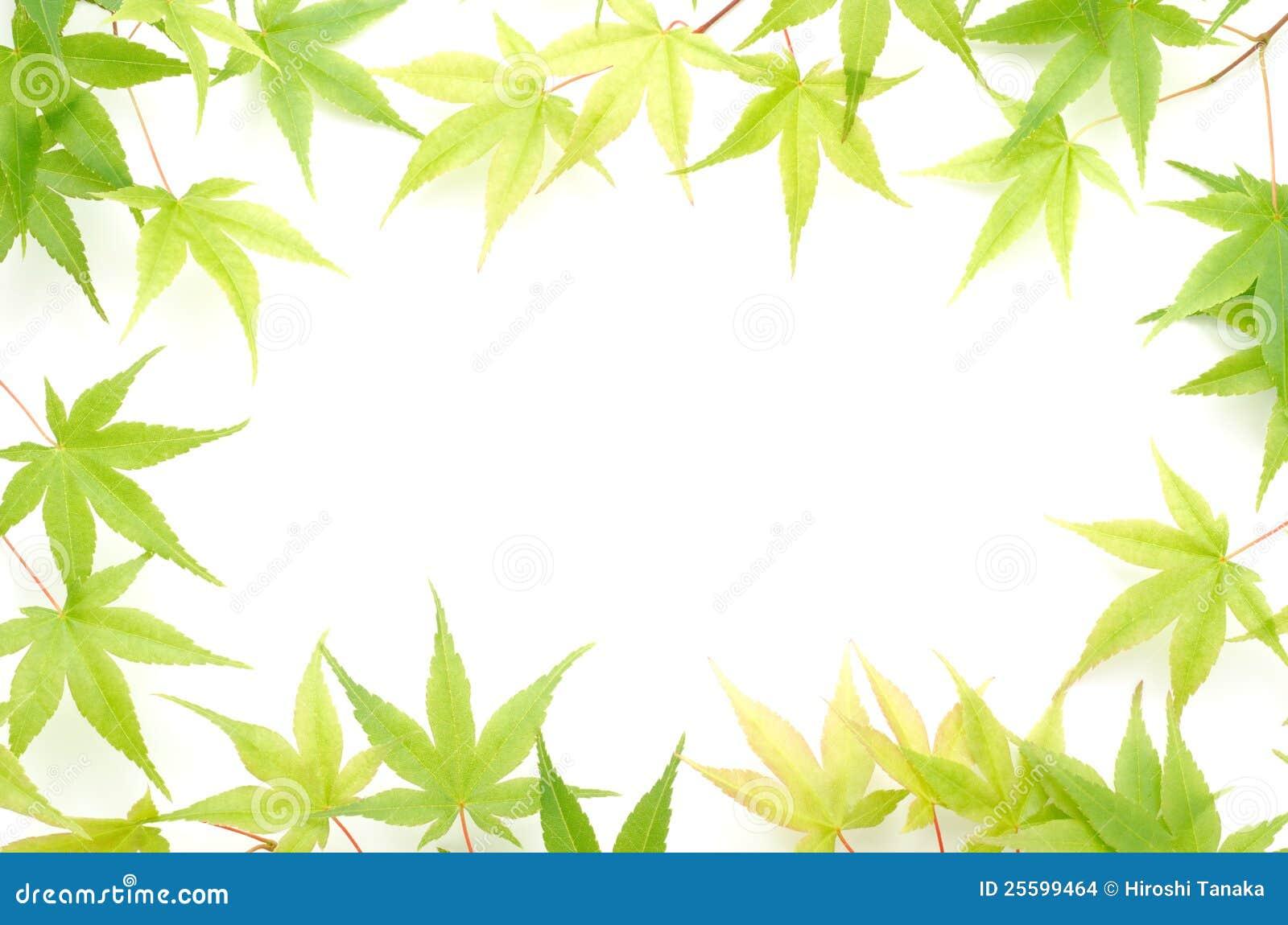 L érable vert part de la trame