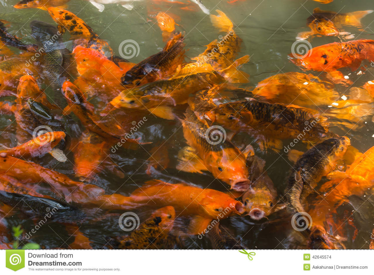 L 39 tang de poisson rouge photo stock image 42645574 for Achat poisson etang