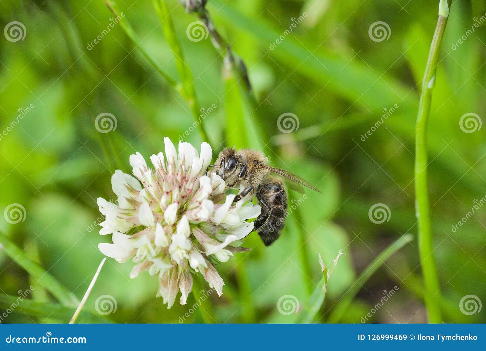 L abeille rassemble nectaring sur la fleur sauvage de tréfle blanc