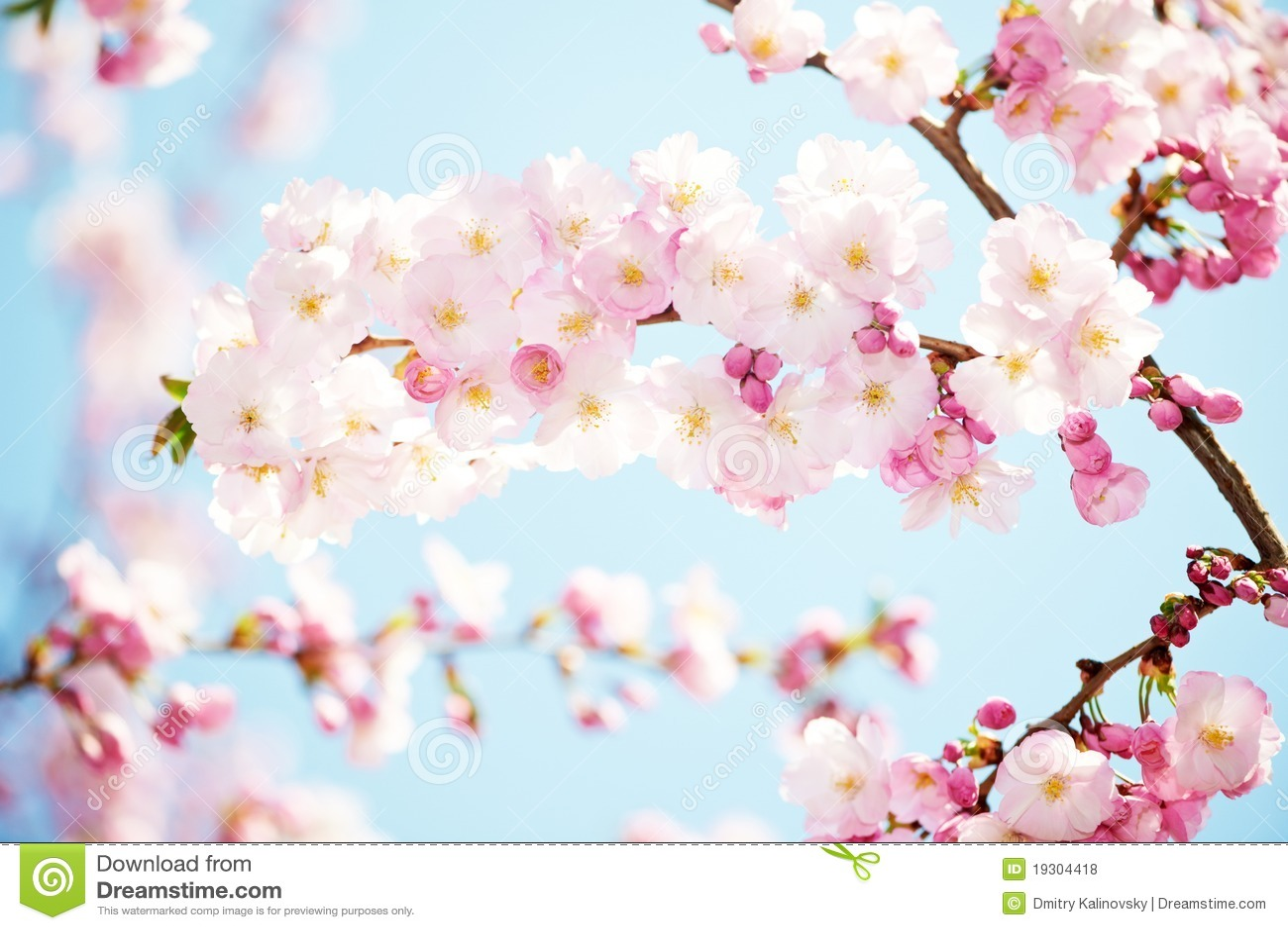 L 39 abricotier fleurit la fleur photos libres de droits for Taille de l abricotier