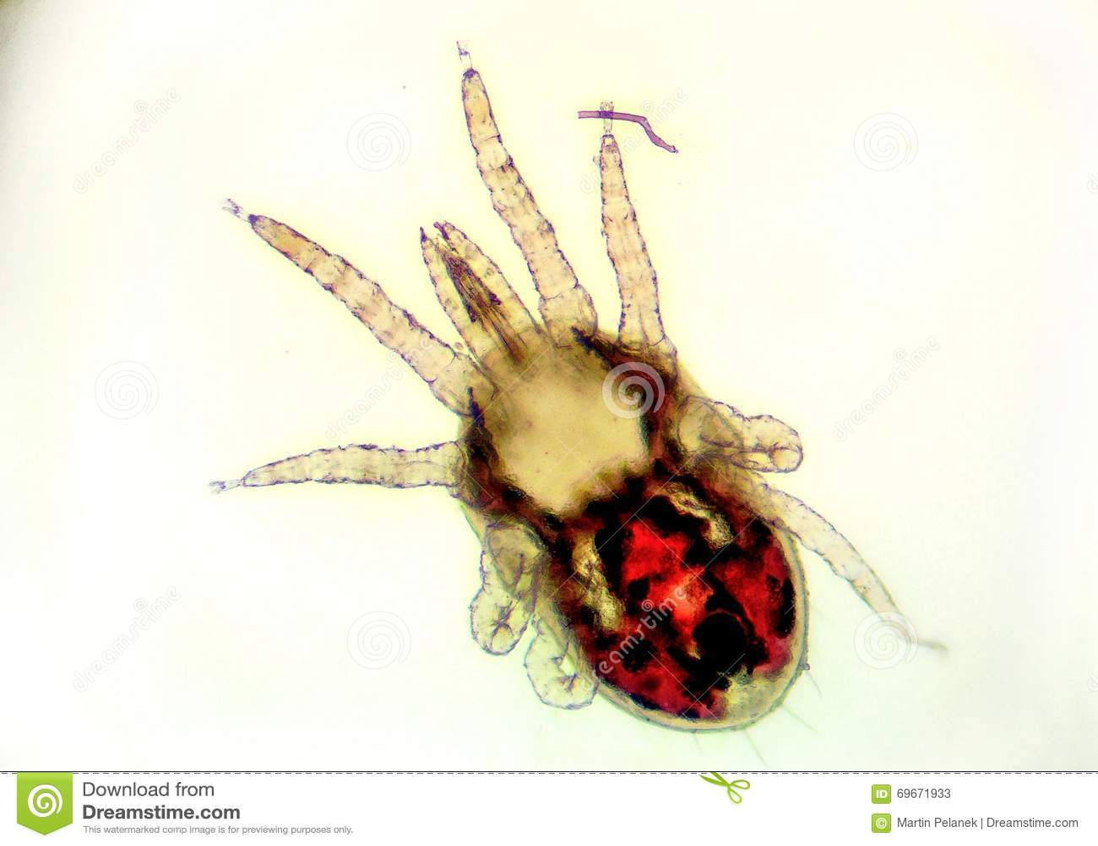 L acaro rosso del pollame - dermanyssus gallinae