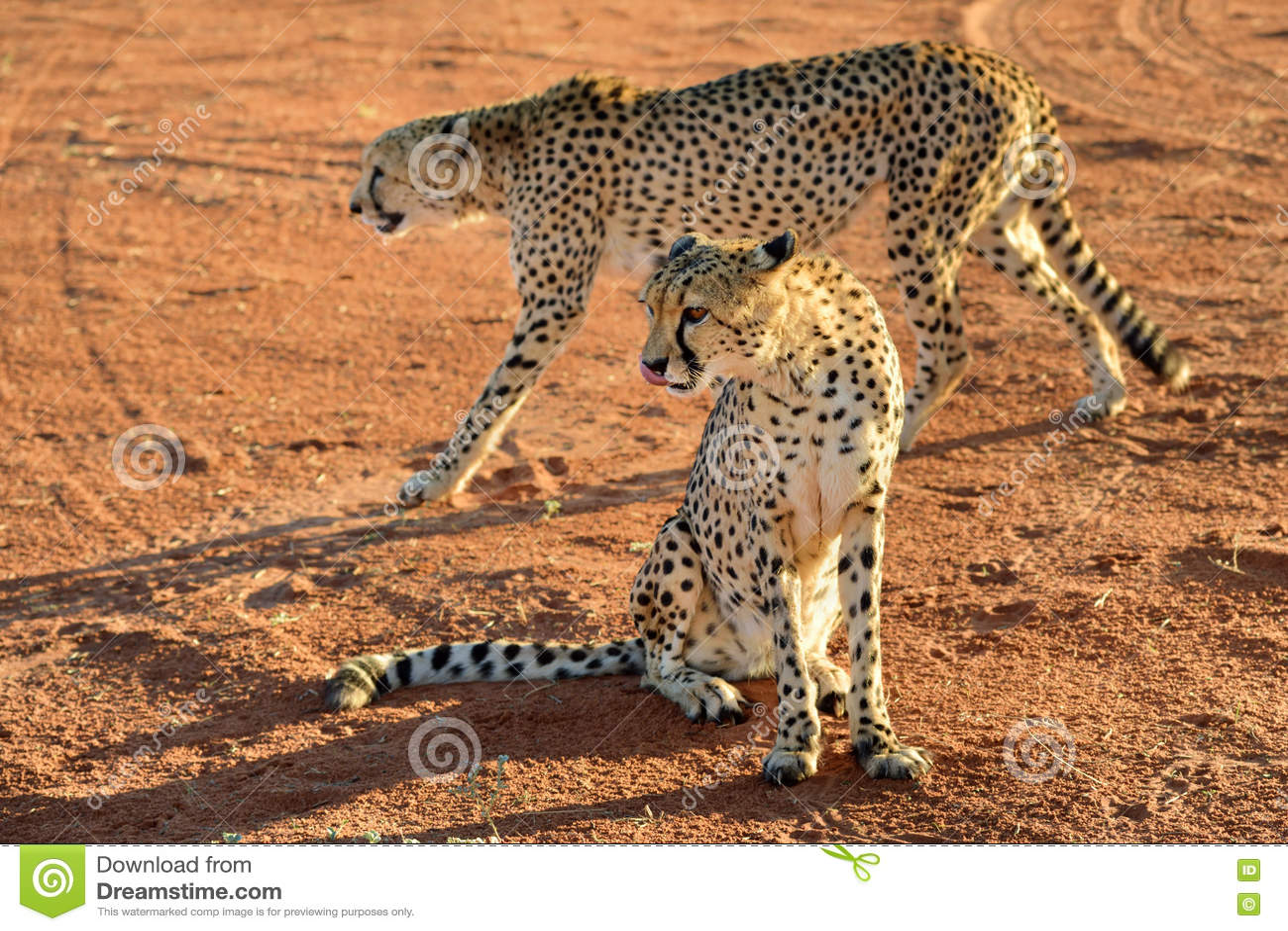 L afrique namibia cheetahs