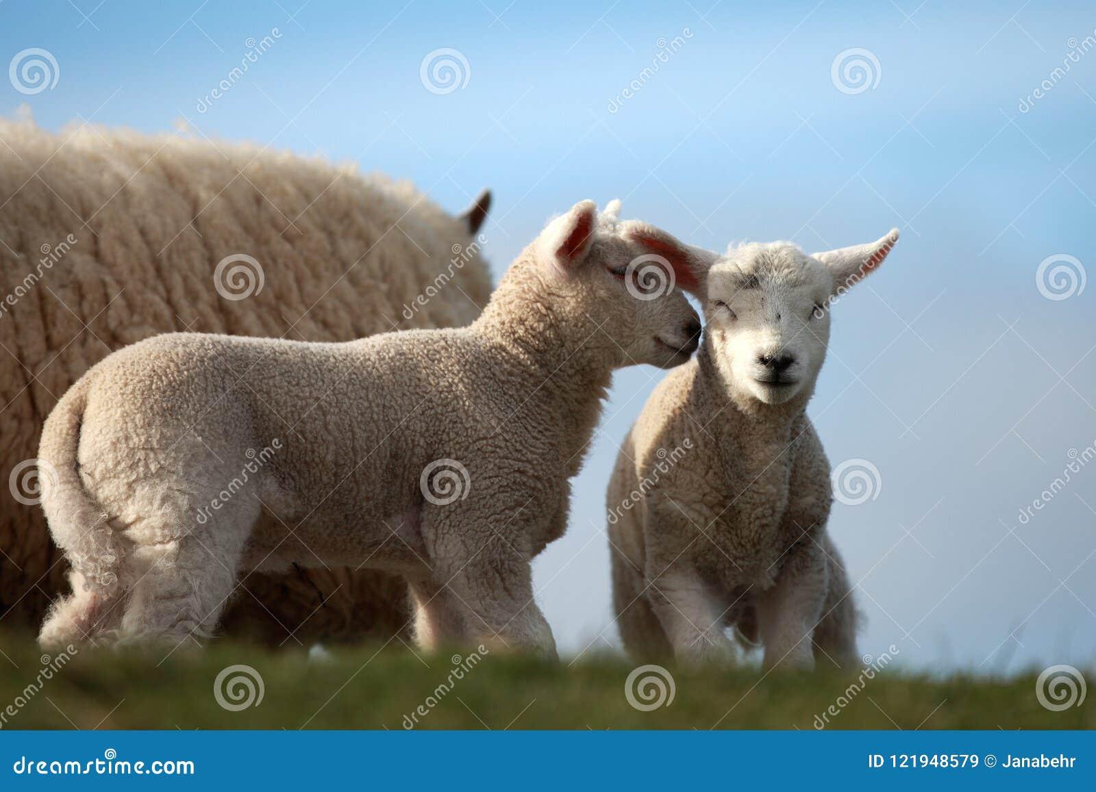 L agnello due sta parlandolo