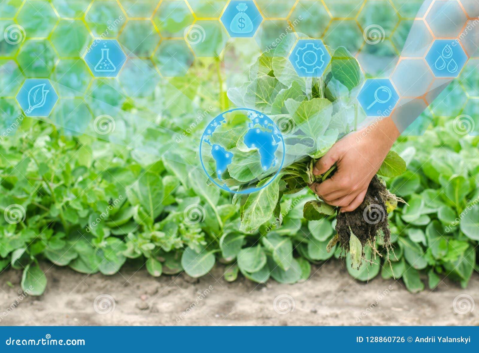L agricoltore sta giudicando le piantine del cavolo pronte per la piantatura nel campo agricoltura, agricoltura, verdure, agroind