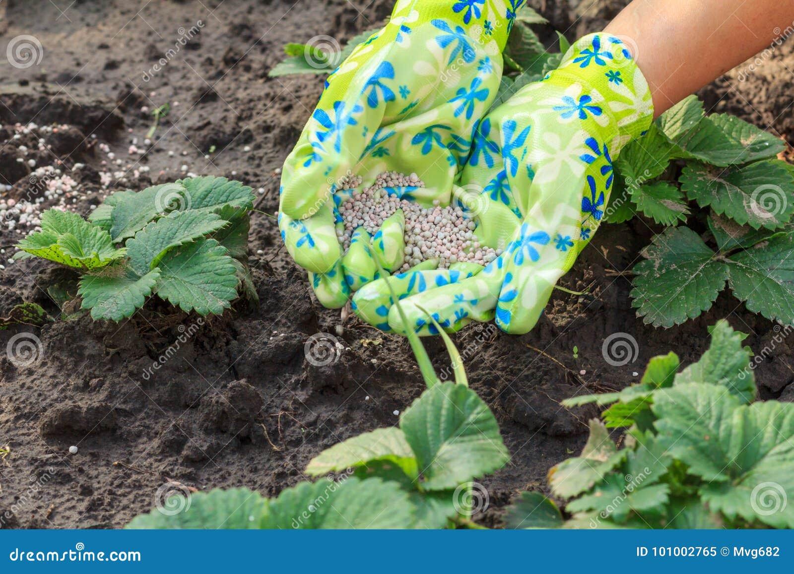 L agriculteur remet donner l engrais chimique aux jeunes fraises pl