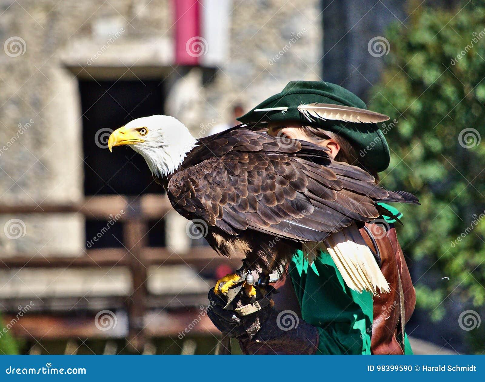 L aigle chauve était perché sur sa main du ` s de fauconnier