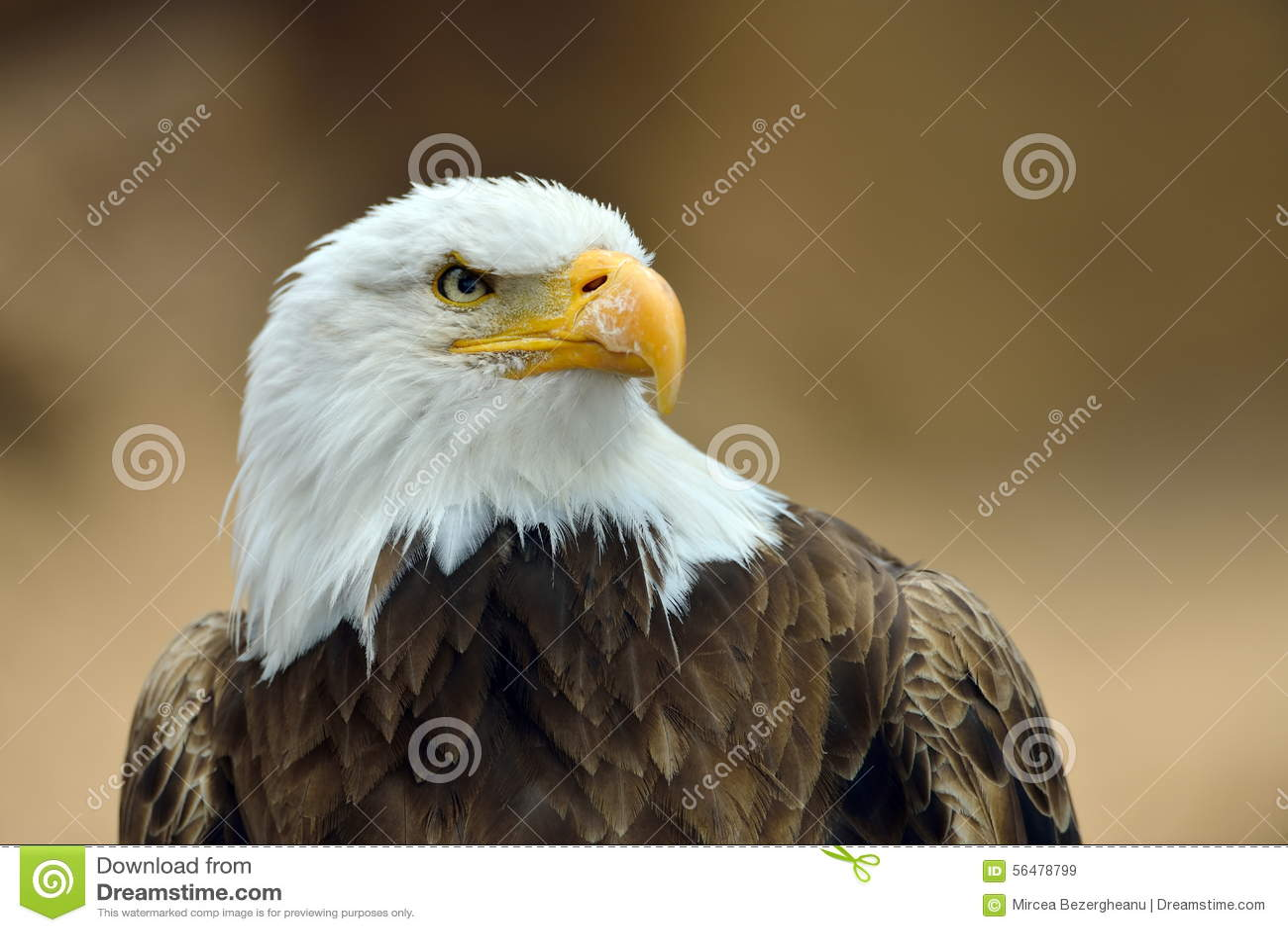 L aigle chauve (leucocephalus de Haliaeetus)