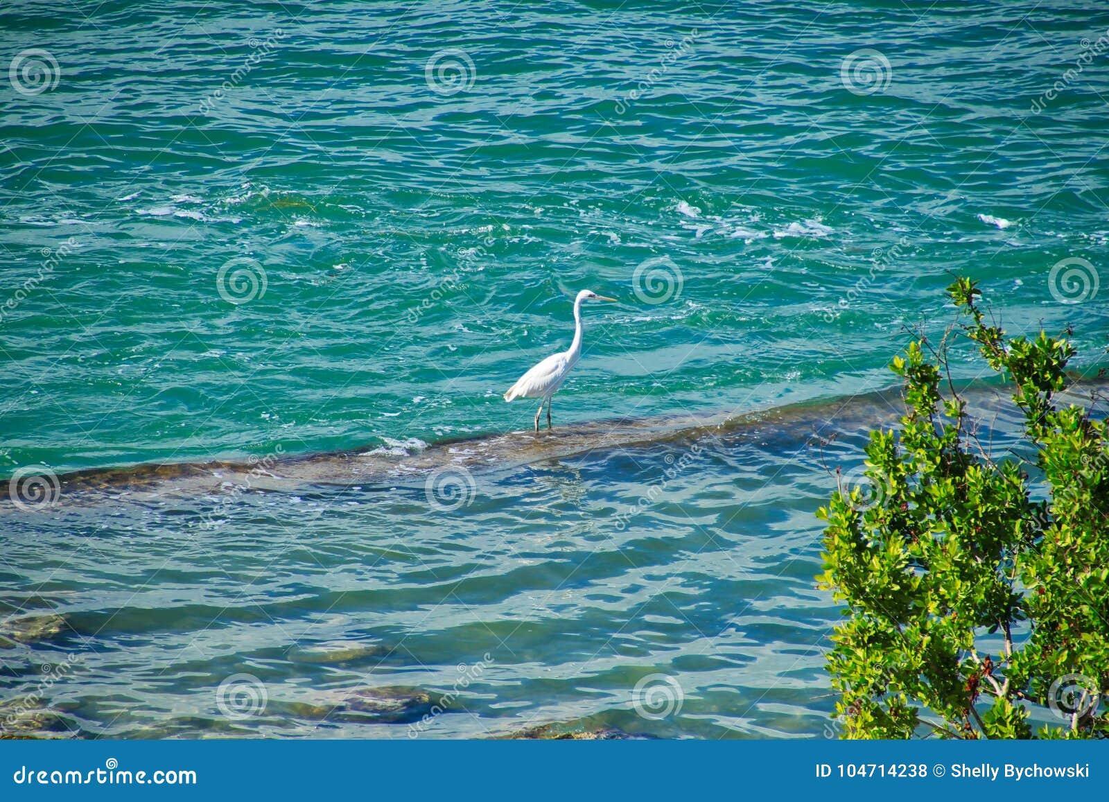 L airone bianco maggiore si appollaia su roccia in oceano sulla spiaggia nelle chiavi di Florida