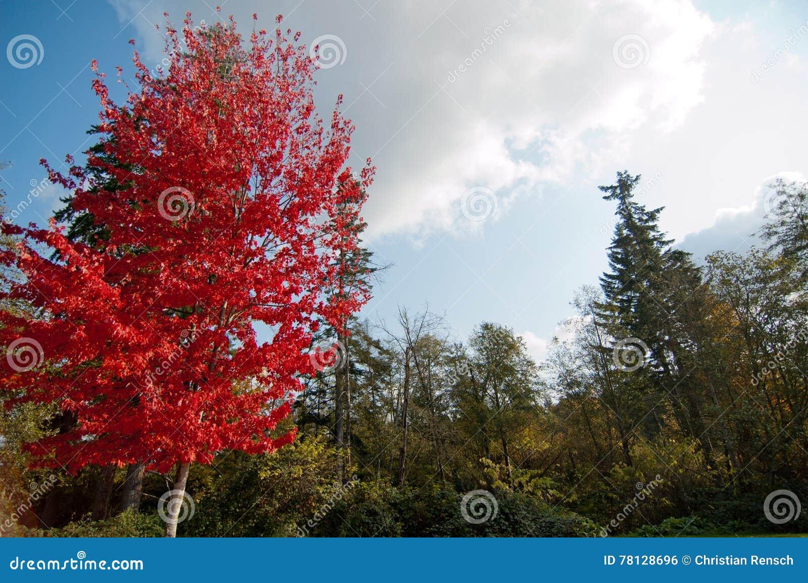 4bf91010fad0 L albero di acero con rosso lascia nella prima fila di alberi con le foglie  verdi