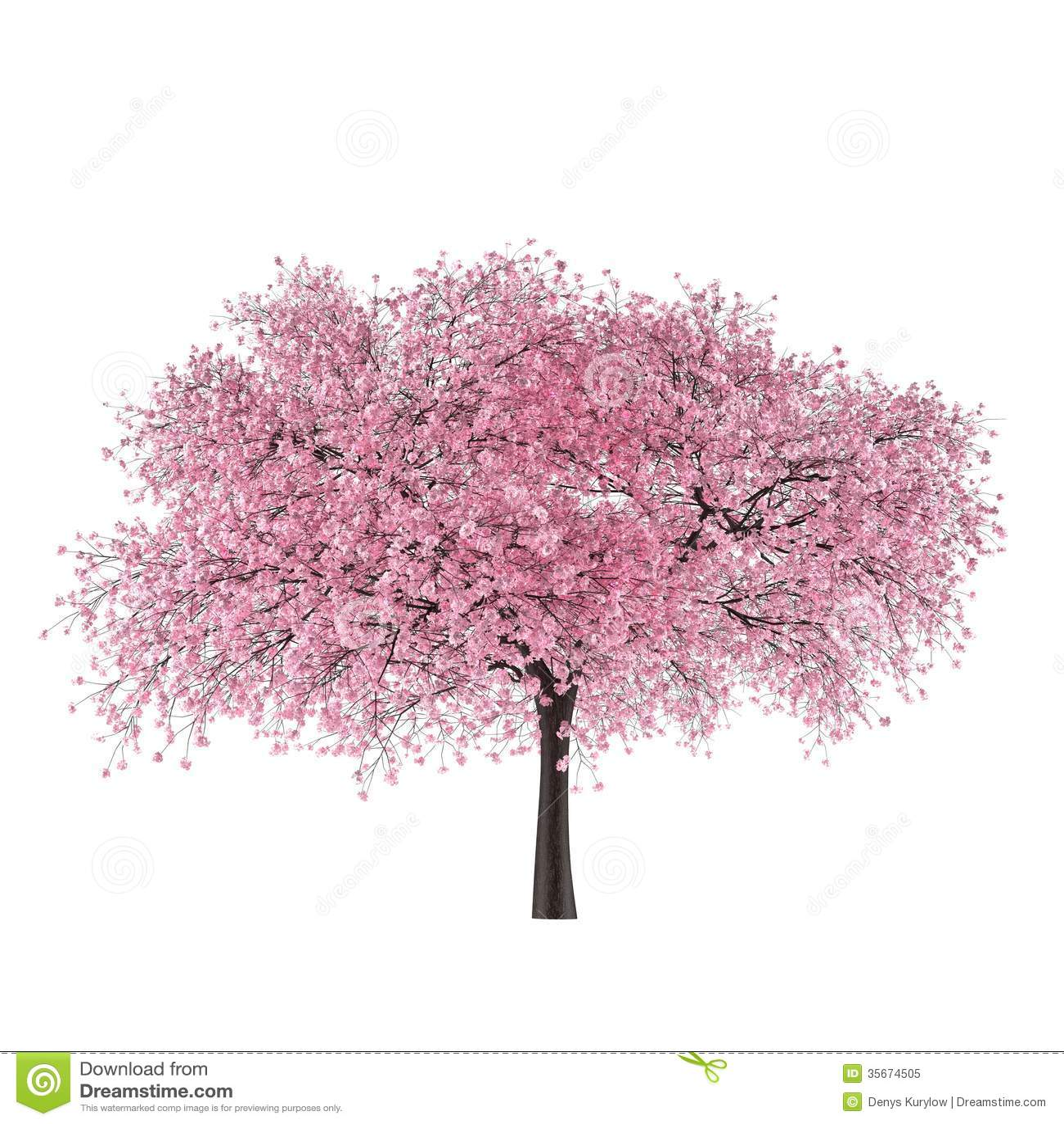 L 39 albero sakura del giappone ha isolato prunus cerasus for Sakura albero