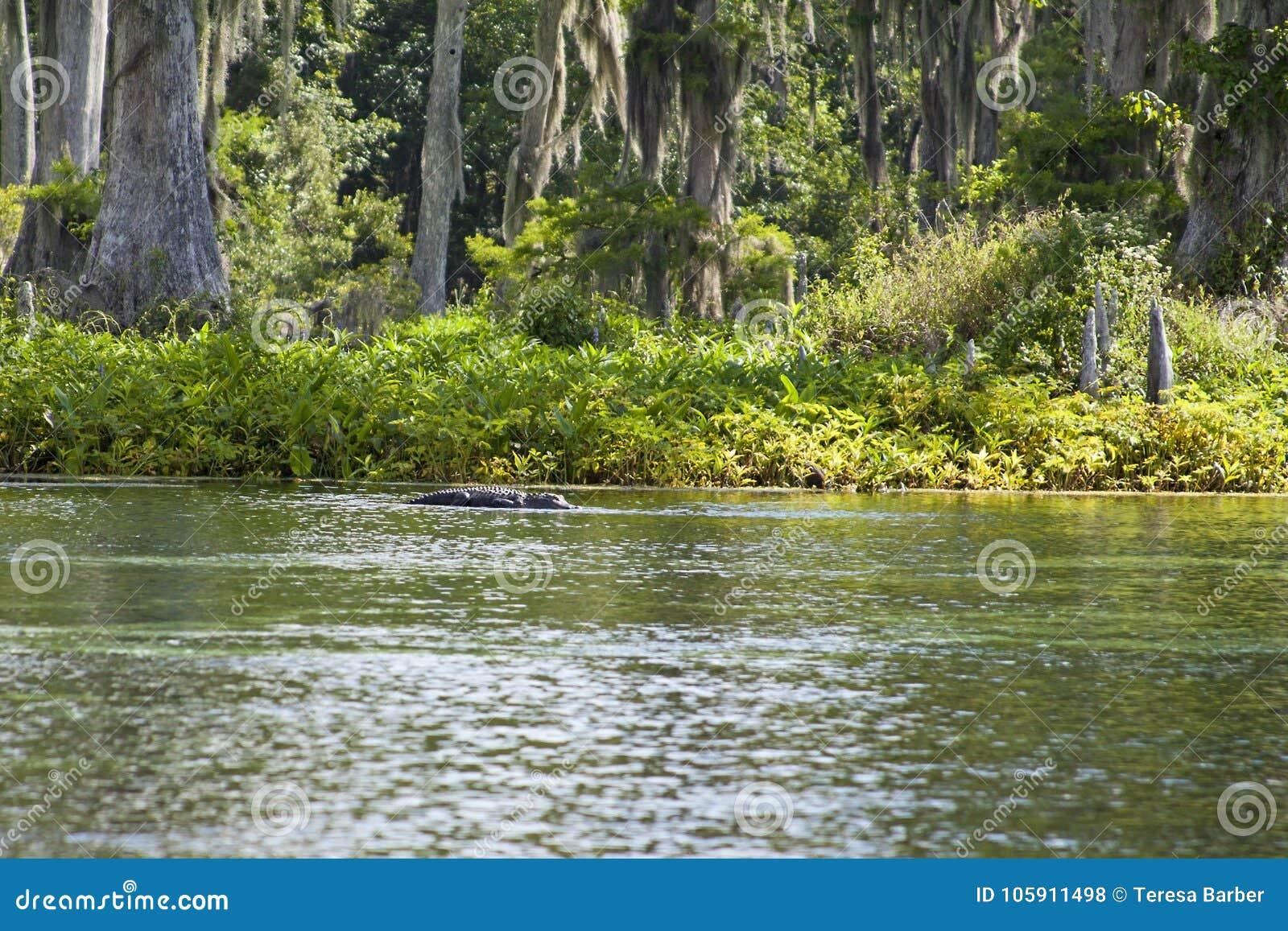 L alligator se reposant dans Wakulla jaillit parc d état