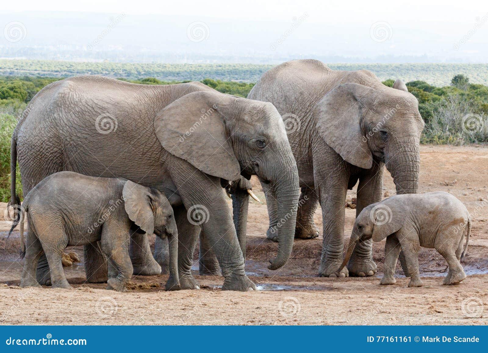 L amour de la famille outre de l éléphant de Bush d Africain