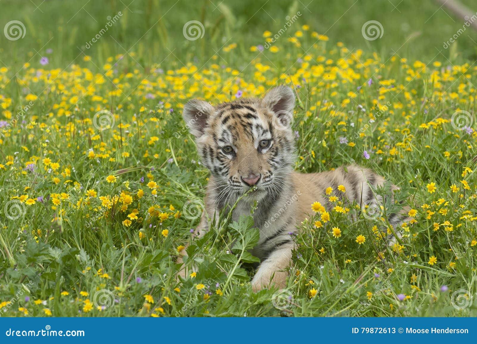L Amur & x28; Siberian& x29; gattino della tigre che risiede nei fiori gialli e verdi