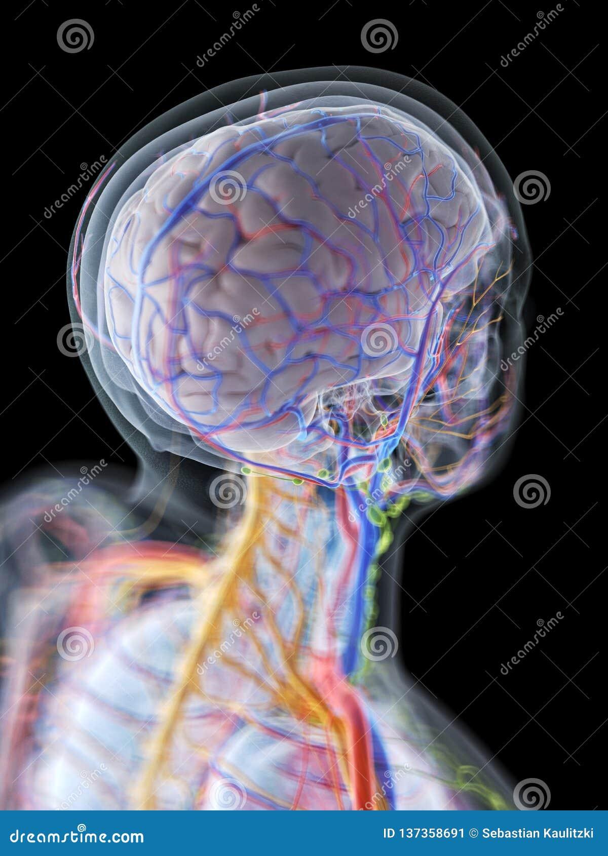 L anatomia del cervello umano