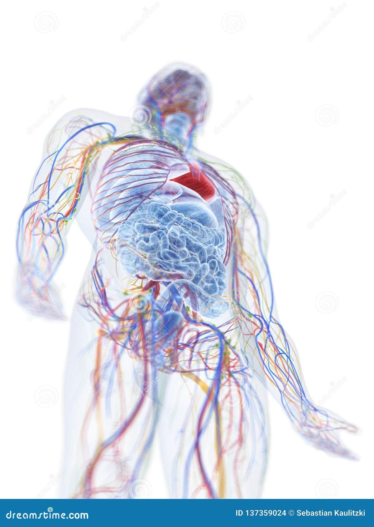 L anatomia umana