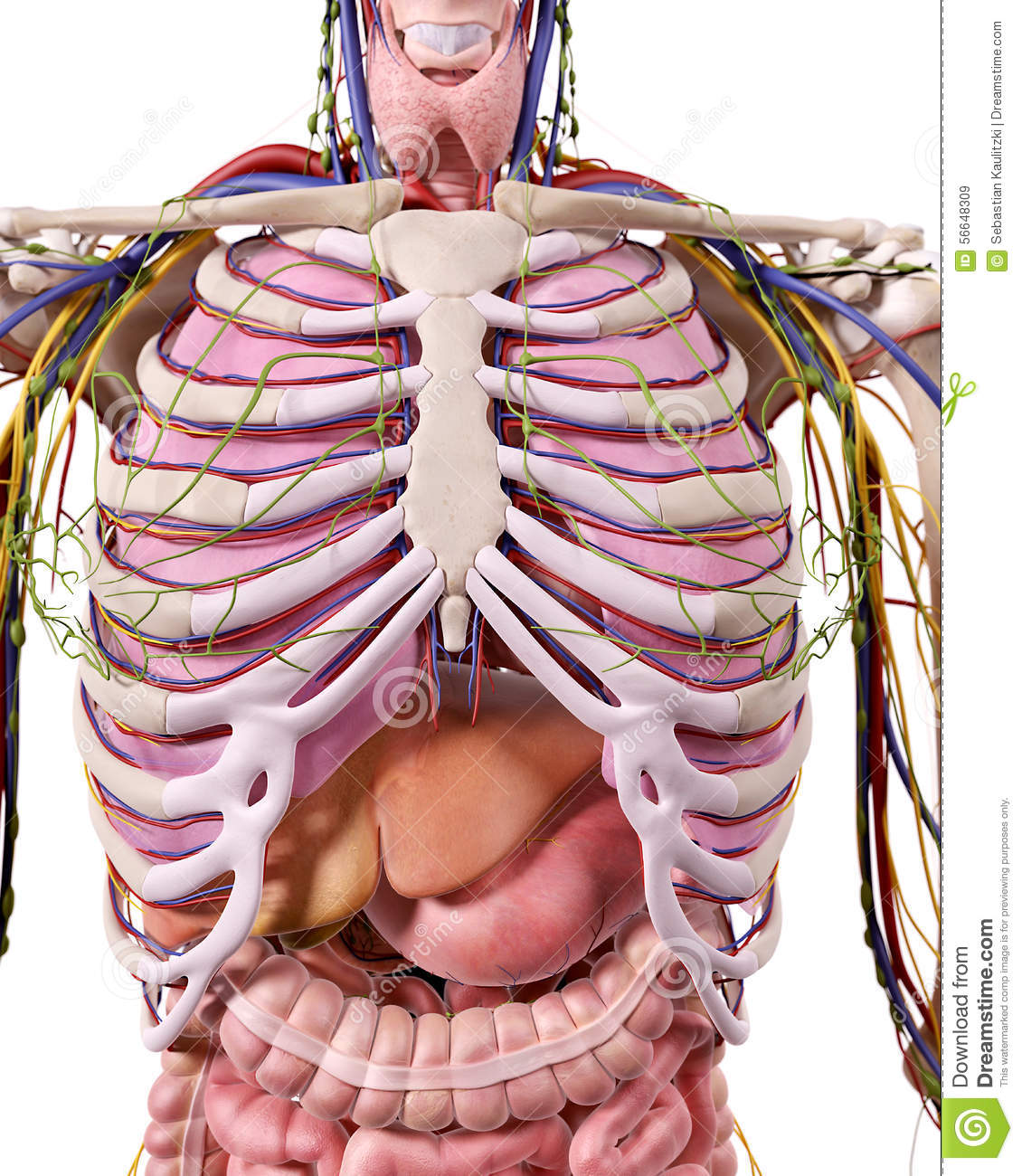 L\'anatomie de thorax illustration stock. Illustration du ...