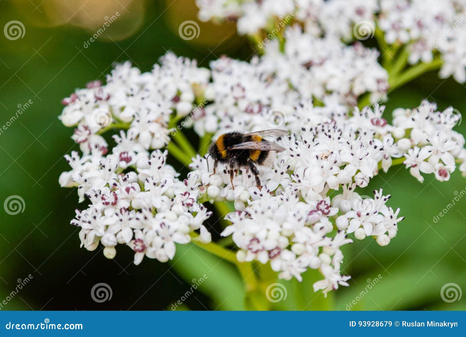 L ape si siede sui fiori bianchi