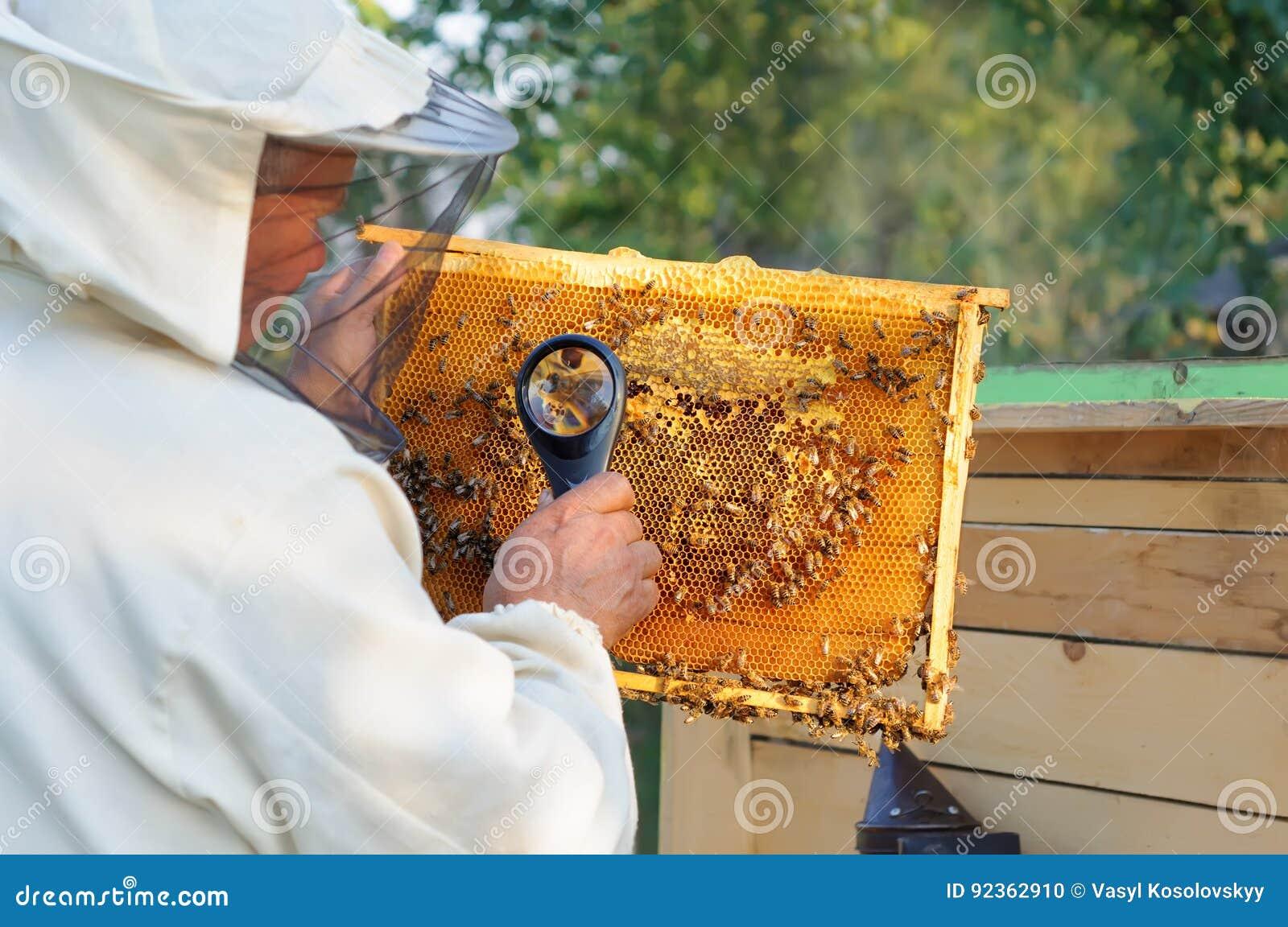 L apiculteur considèrent des abeilles en nids d abeilles avec une loupe Apiculture
