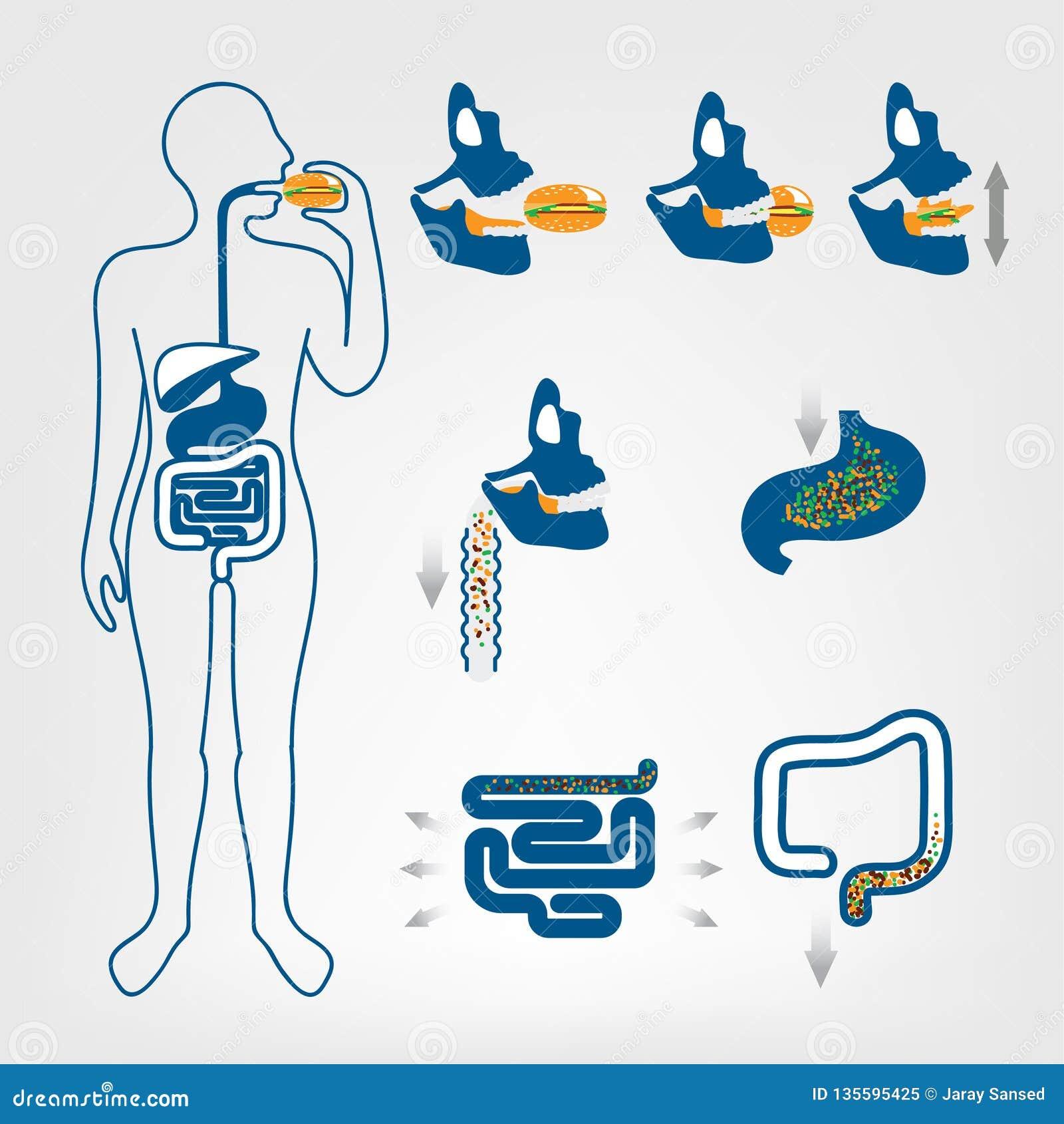 L appareil digestif des humains
