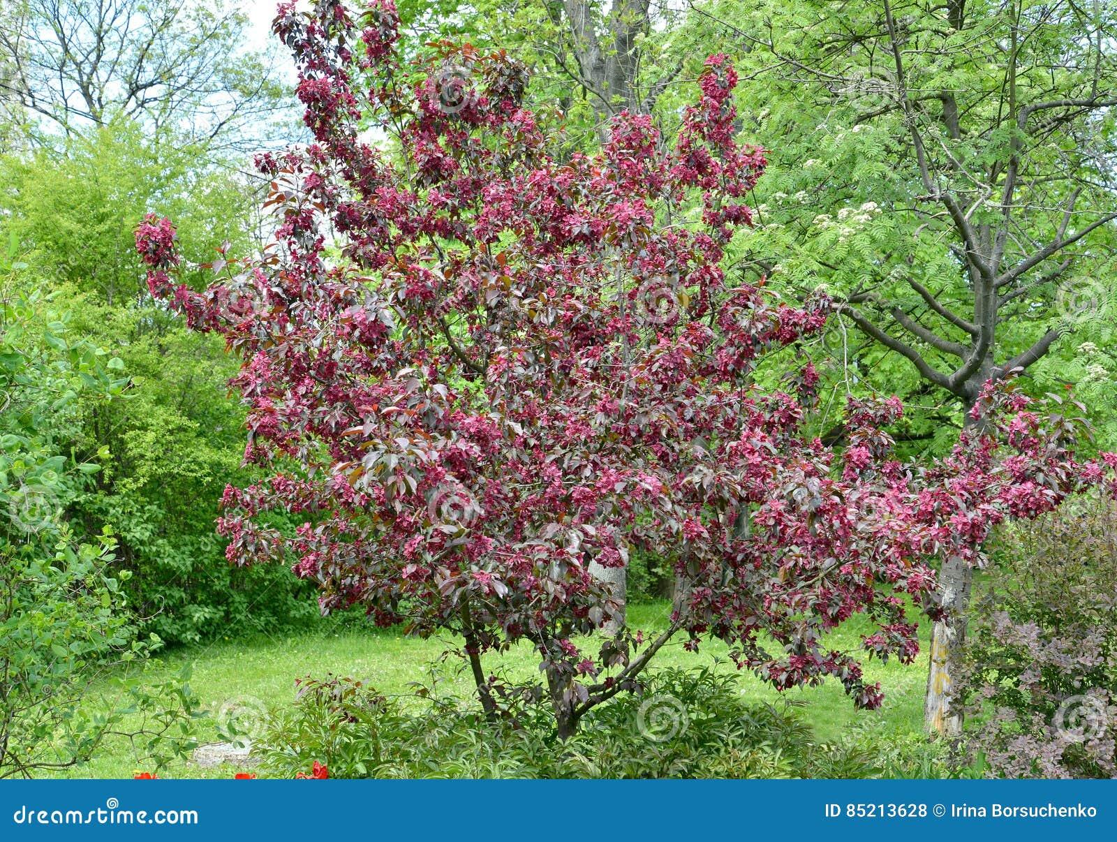 l'apple-arbre décoratif d'une catégorie de redevance fleurit dans un