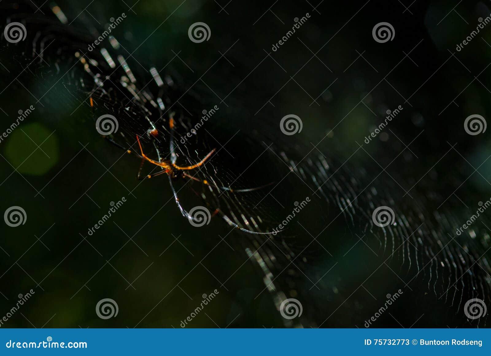 L arachnide d araignée se repose dans sa tanière sur le fond noir