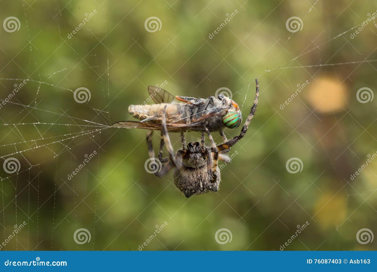 L araignée a attrapé un taon