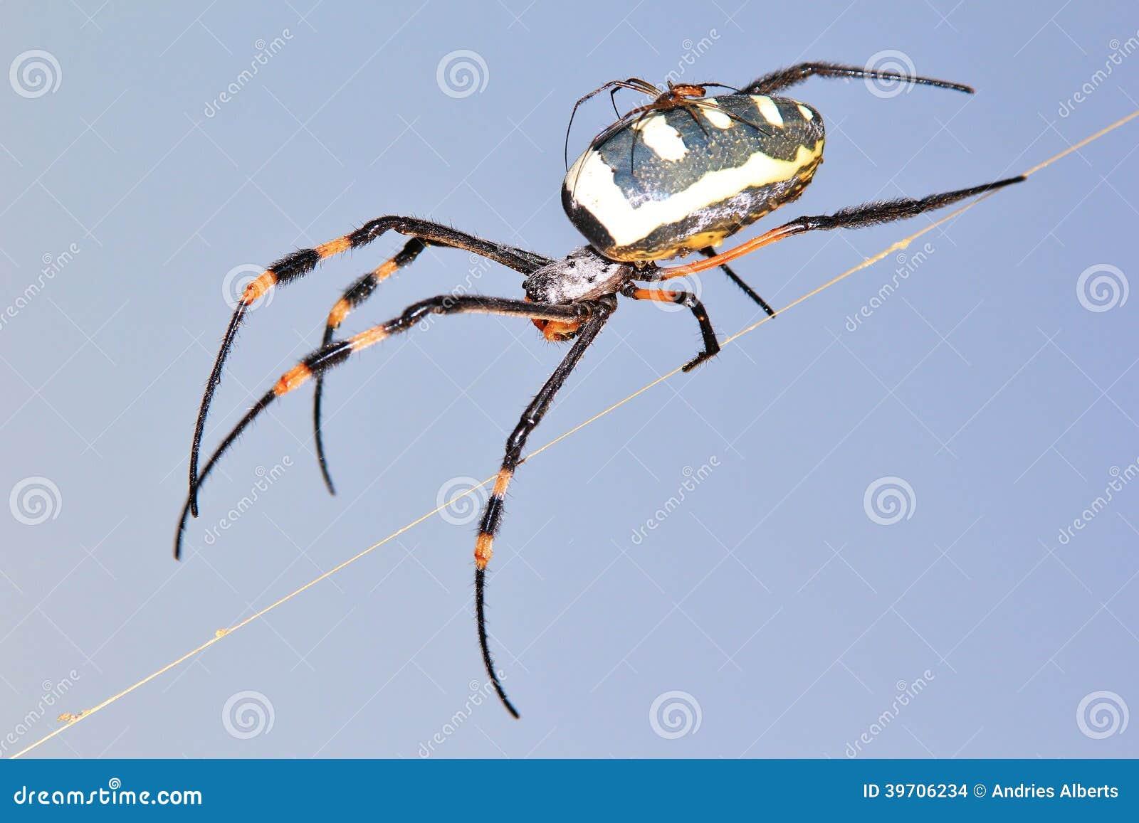 L araignée d or de globe - maman et bébé d insecte - arachnide balancent