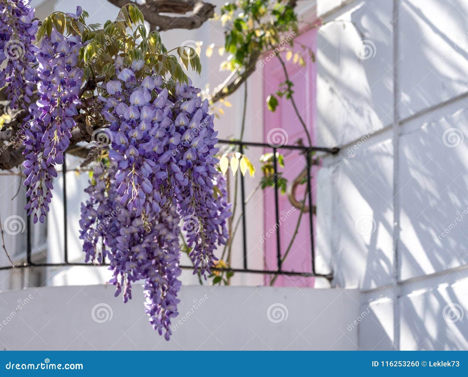 Maison Peinte En Blanc Exterieur l'arbre de glycine en pleine floraison s'élevant en dehors d