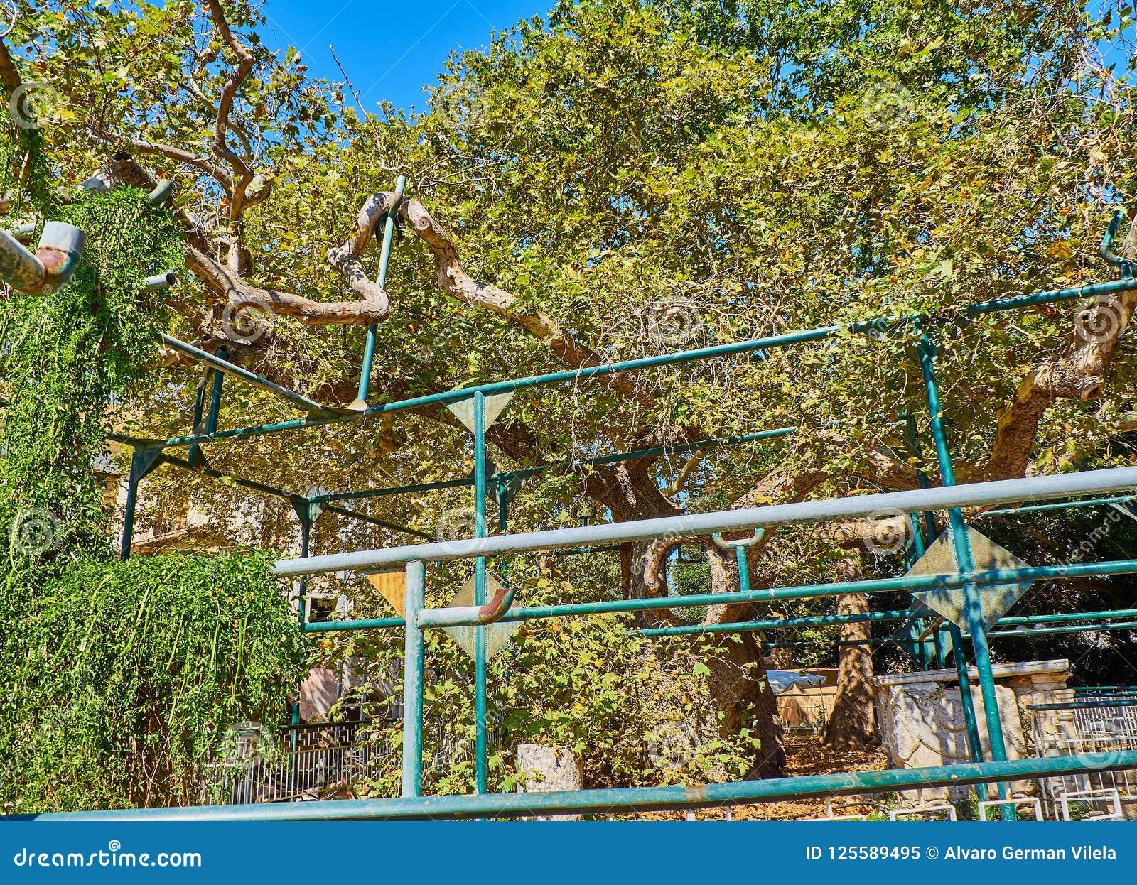 l'arbre de hippocrate place du platane, kos la grèce image éditorial