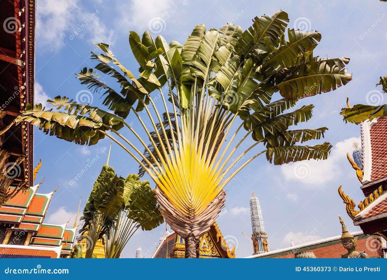 L arbre du voyageur