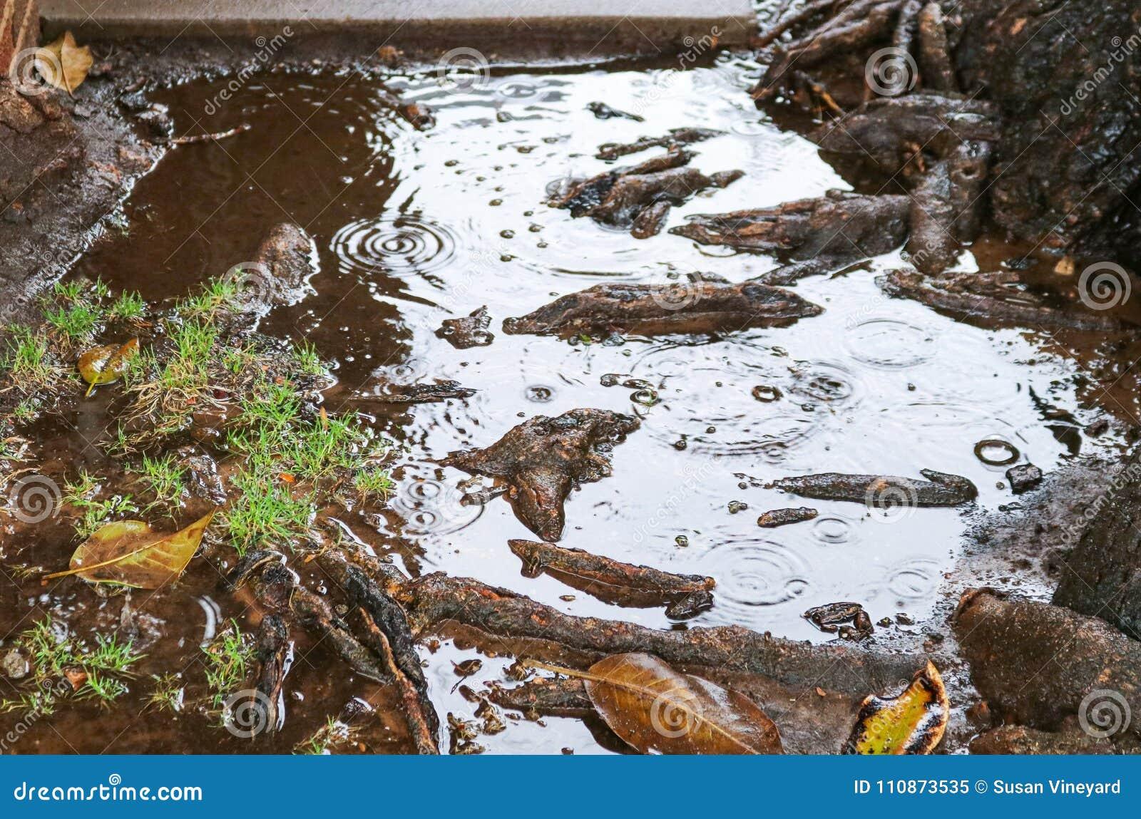 L arbre enracine l eau de piscine pendant la pluie posant probablement des problèmes d inondation, d égout ou de tuyauterie