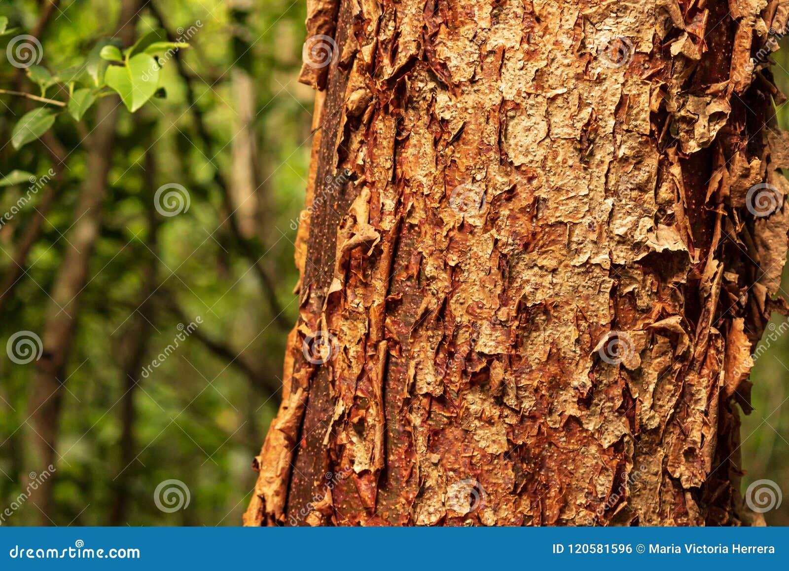 L arbre gombo-fictif est une plante médicinale