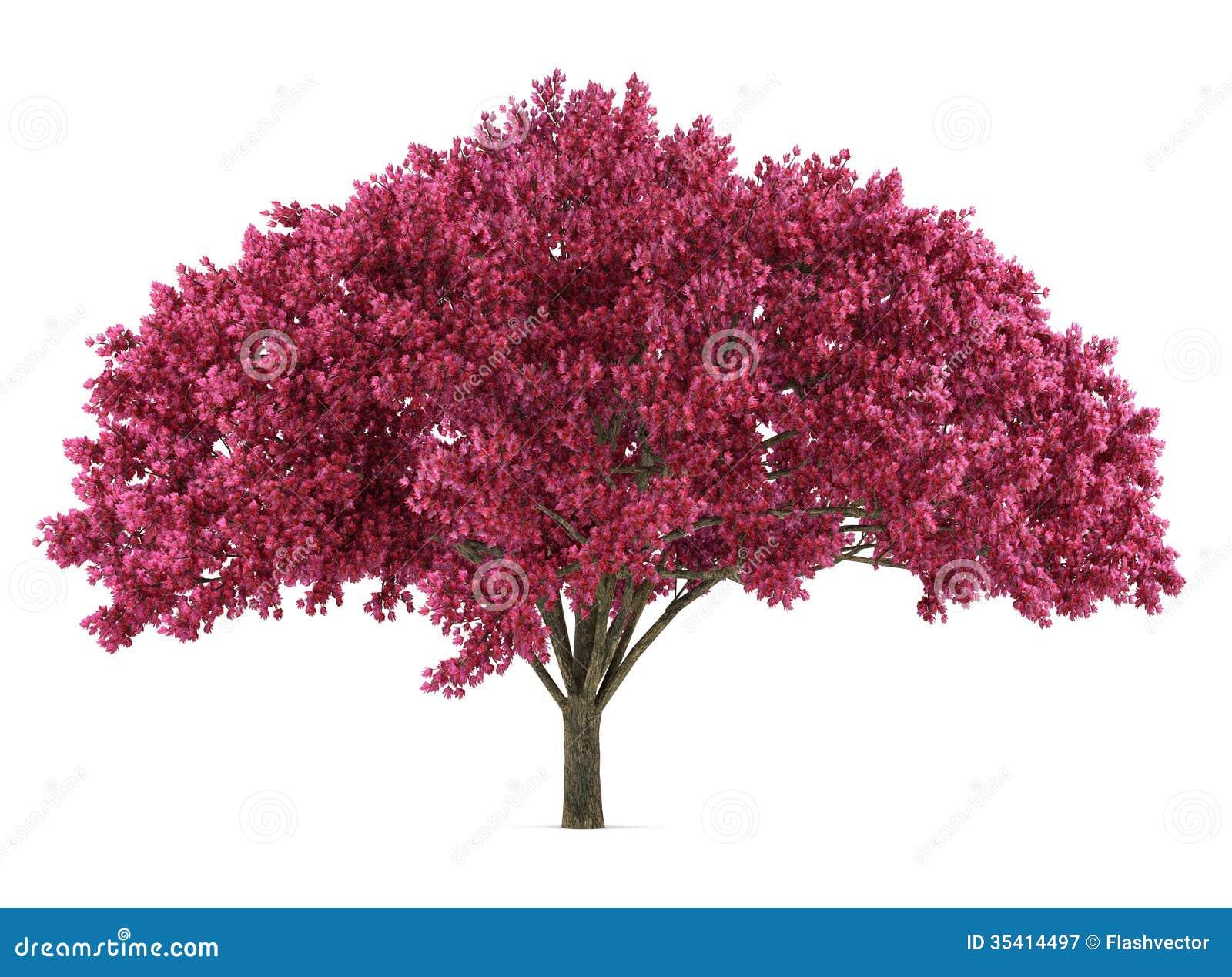 l 39 arbre sakura du japon a isol prunus cerasus illustration stock image 35414497. Black Bedroom Furniture Sets. Home Design Ideas