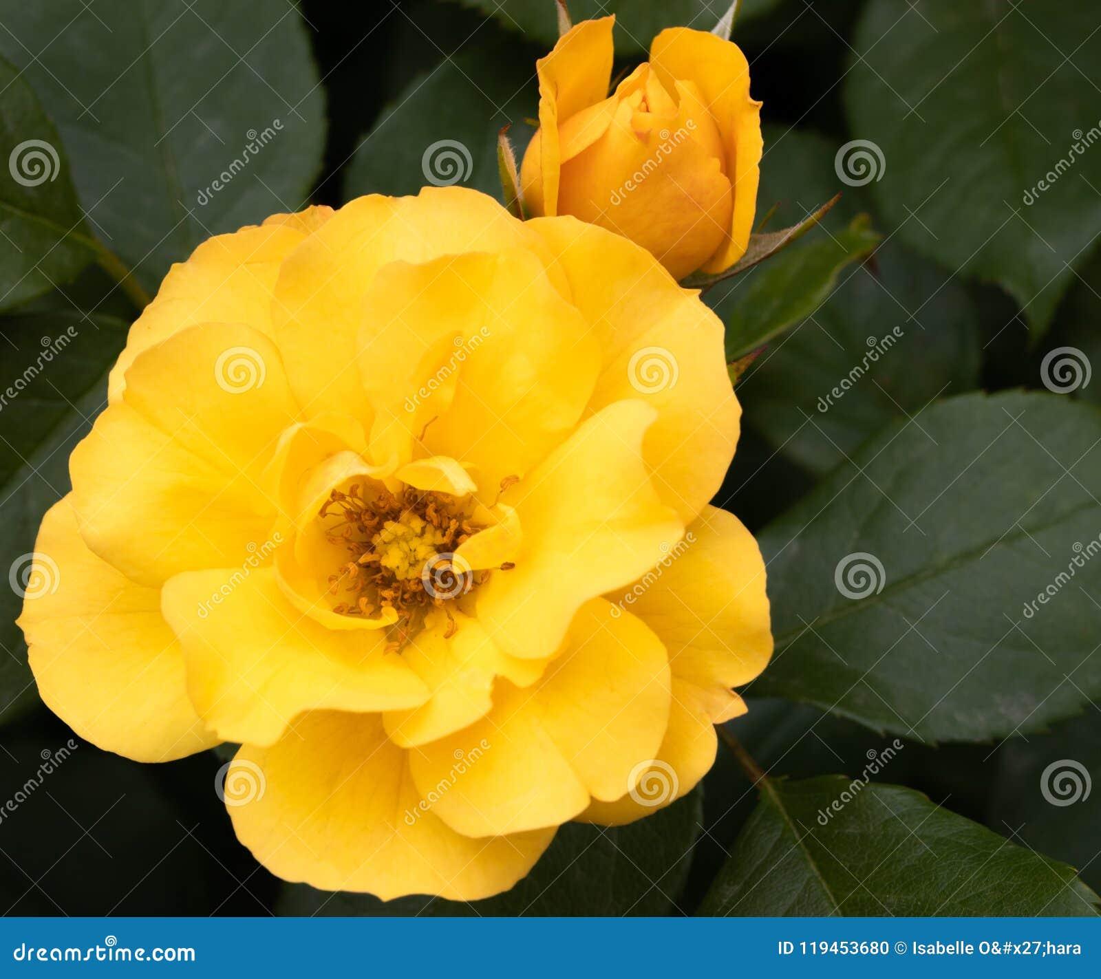 L arbuste hybride d or jaune de tequila rose et la fin haute de bourgeon au foyer sélectif avec le vert part à l arrière-plan