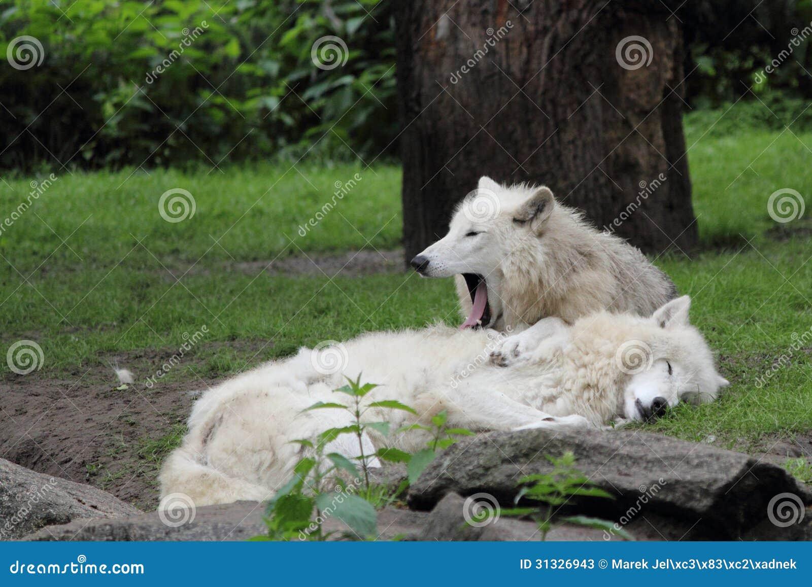 L Arctique de repos wolfs