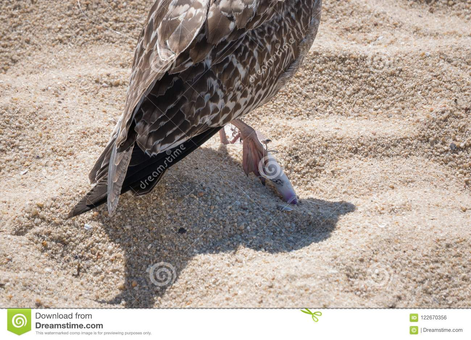 L argentatus juvénile de mouette d harengs/mouette/Larus a son pied empalé sur un hameçon jeté