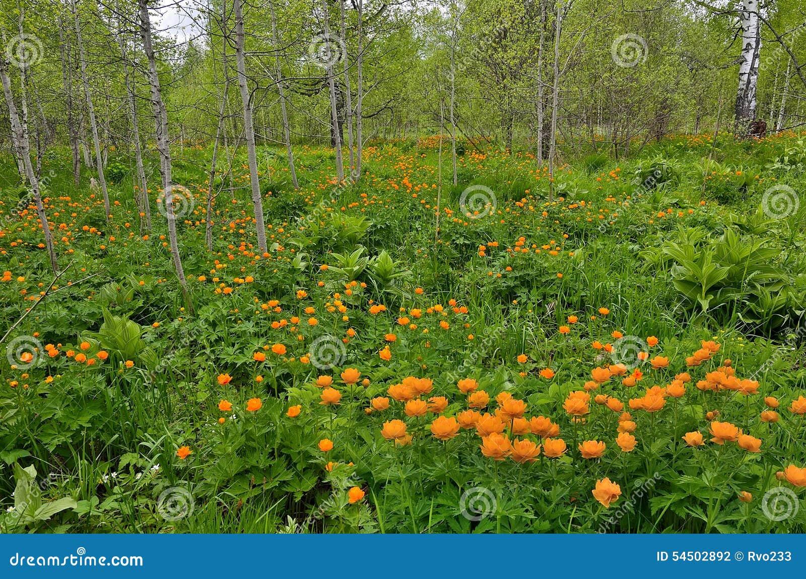L arpet de ¡ de Ð du ressort lumineux fleurit en clairière de forêt