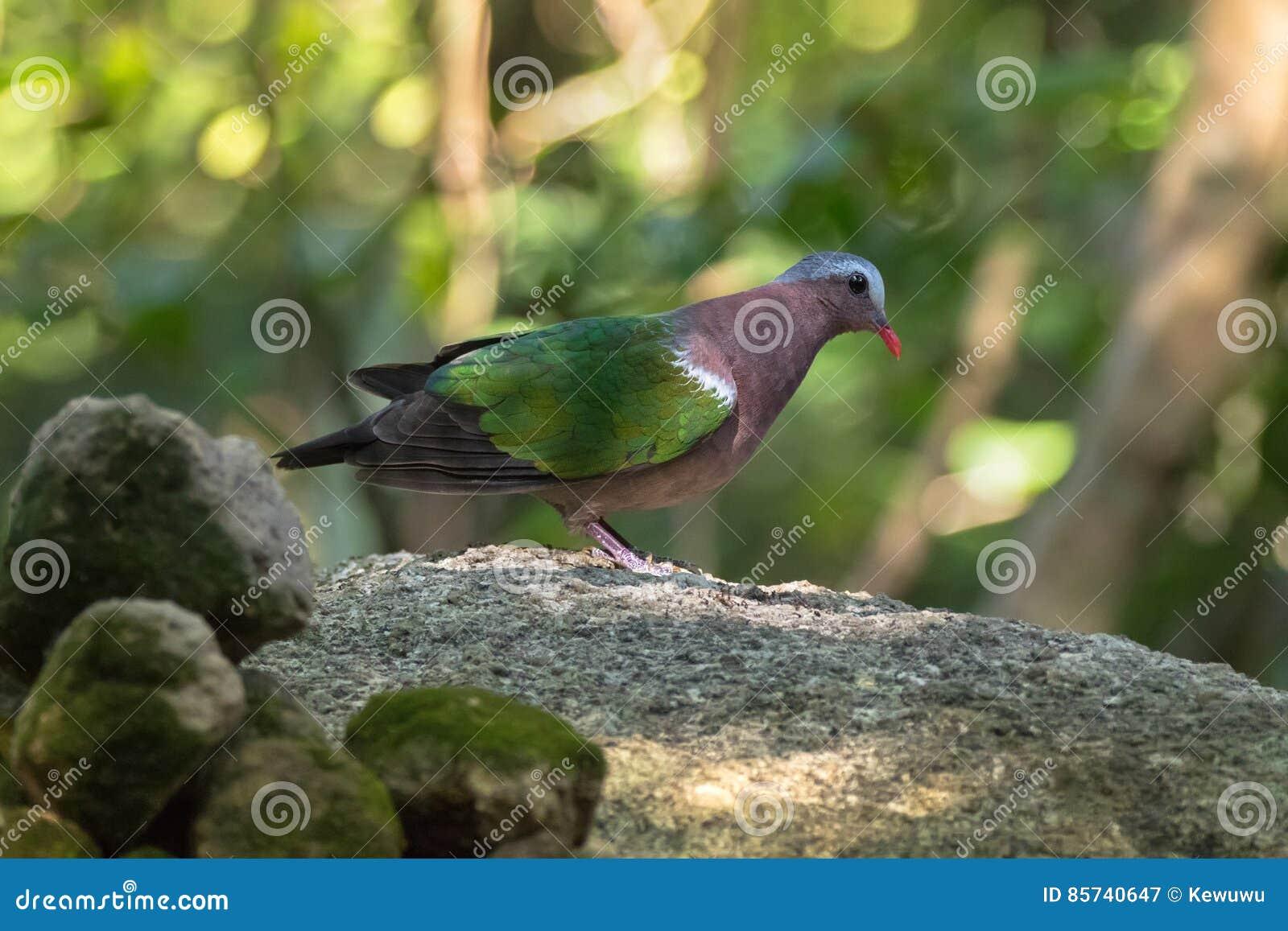 L 39 asiatique commun gris a couvert l 39 oiseau vert de pigeon for Oiseau commun