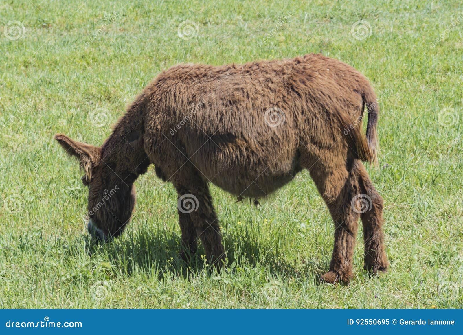 L asino sentito parlare pasce in un prato verde