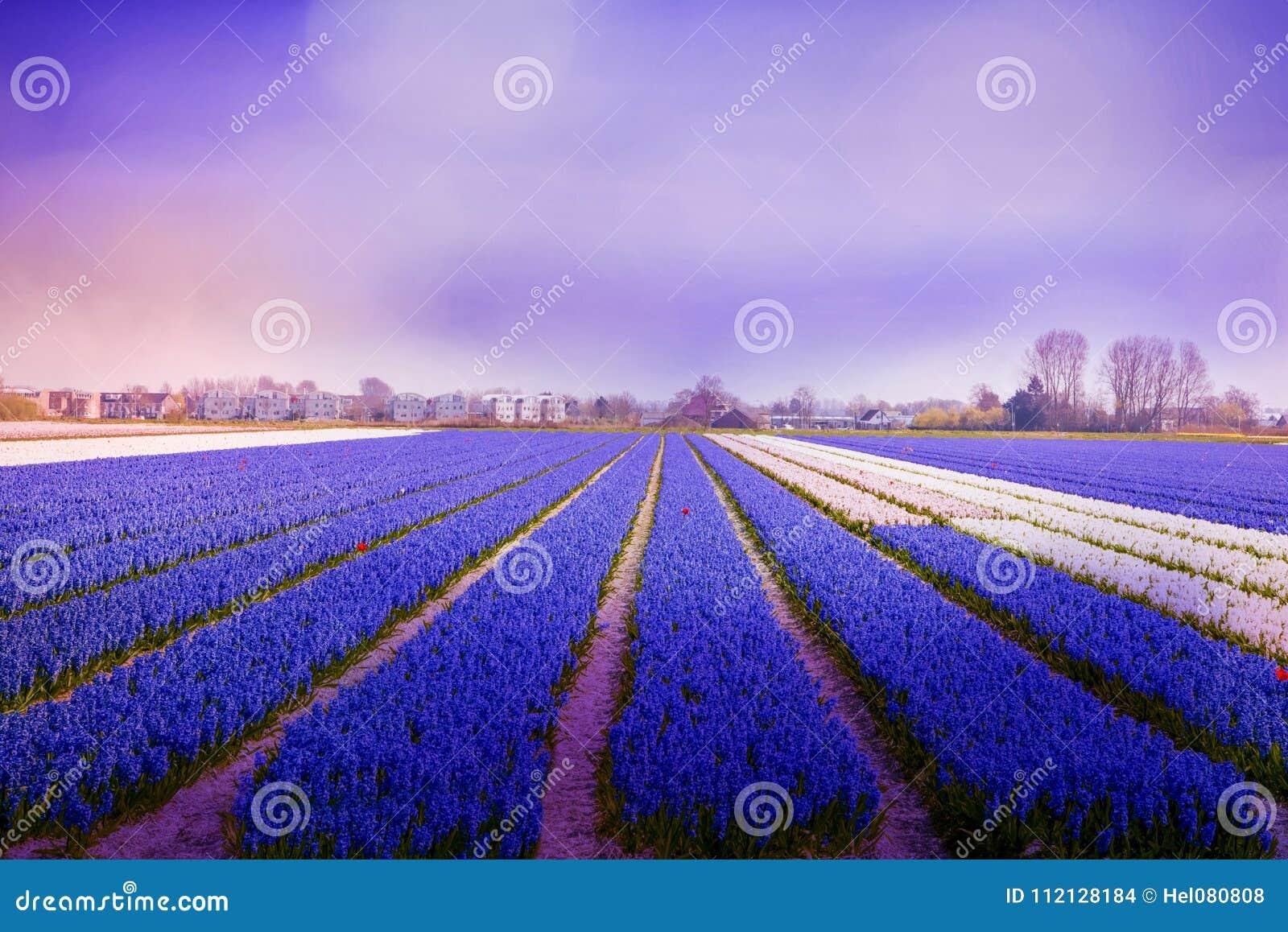 L atmosphère violette dans le domaine de jacinthe dans la lumière de matin