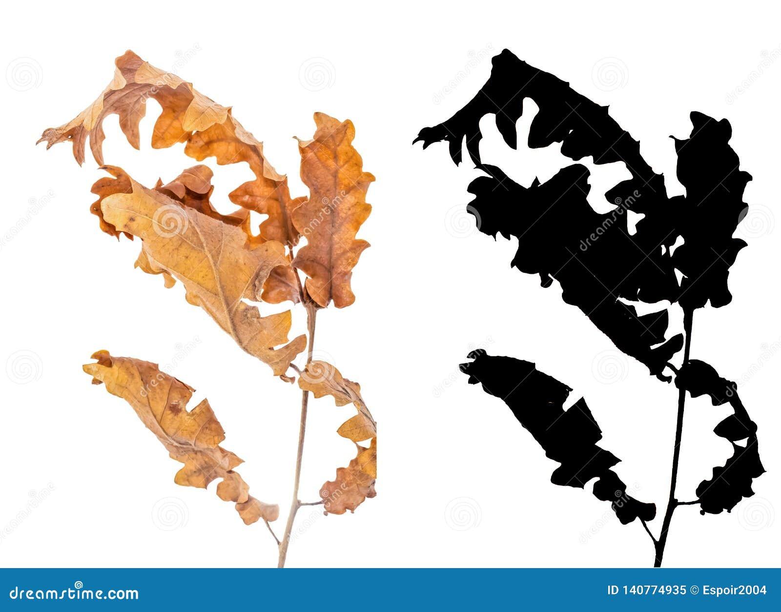 L aulne a séché des feuilles d isolement sur le fond blanc avec l alpha masque noir
