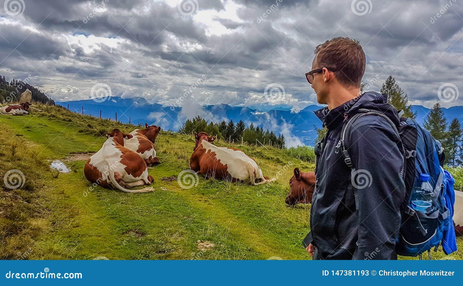 L Austria - fare un escursione le mucche di incontri dell uomo sulla traccia
