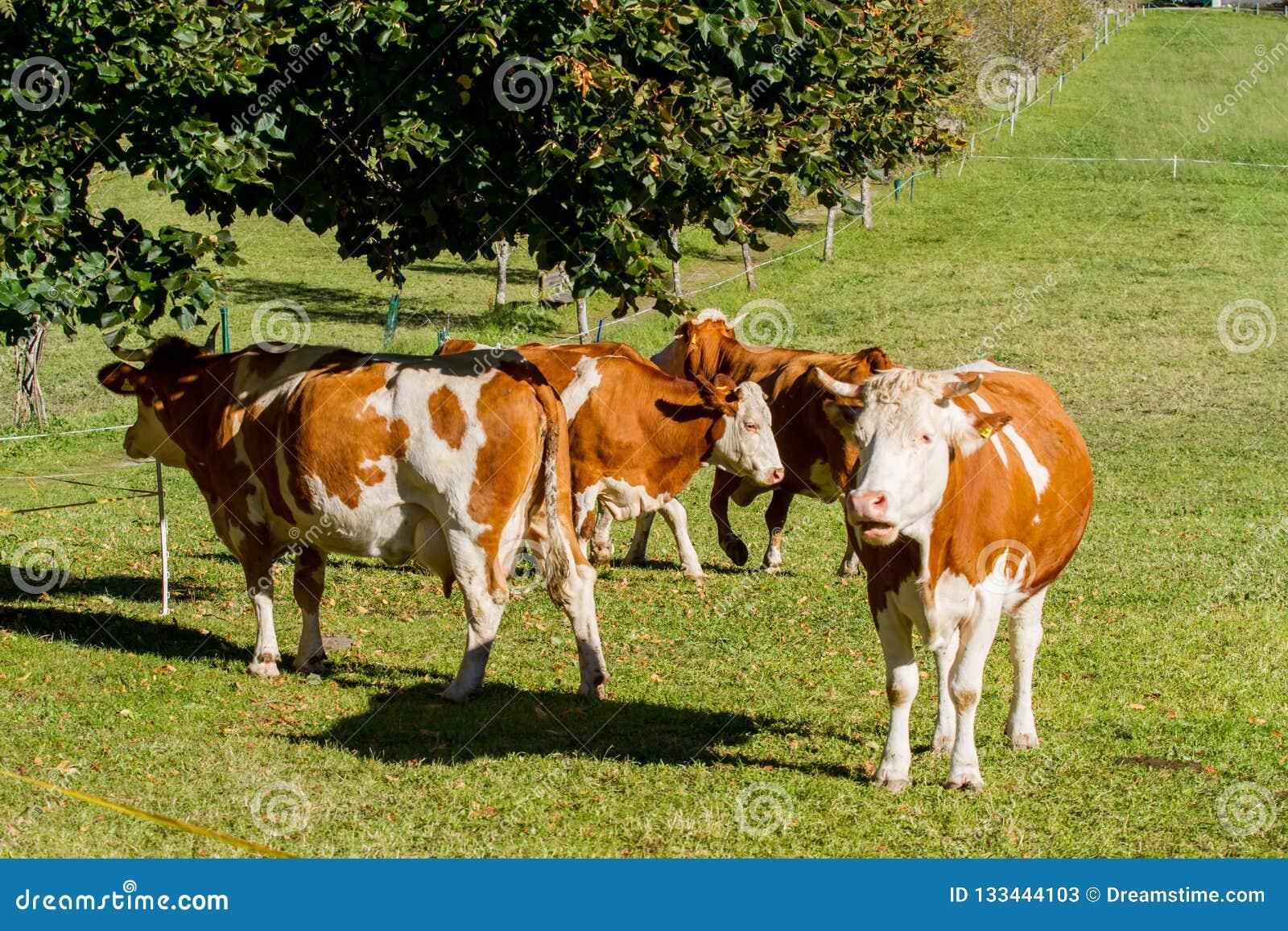 L austria Le mucche da latte pascono in un prato alpino circondato dalle alpi