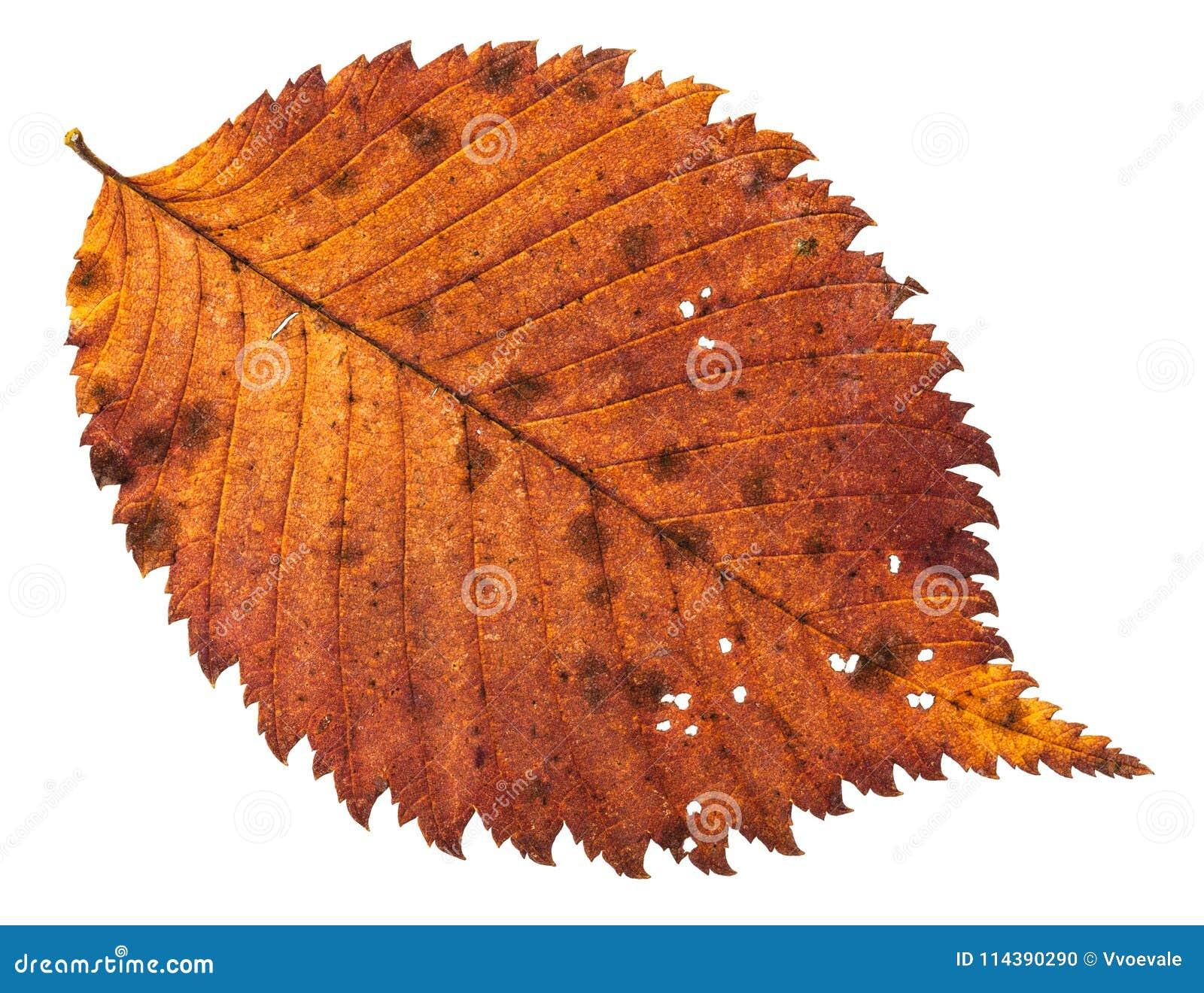 Compost De Feuilles D Érable l'automne a délabré la feuille trouée de l'arbre d'orme d