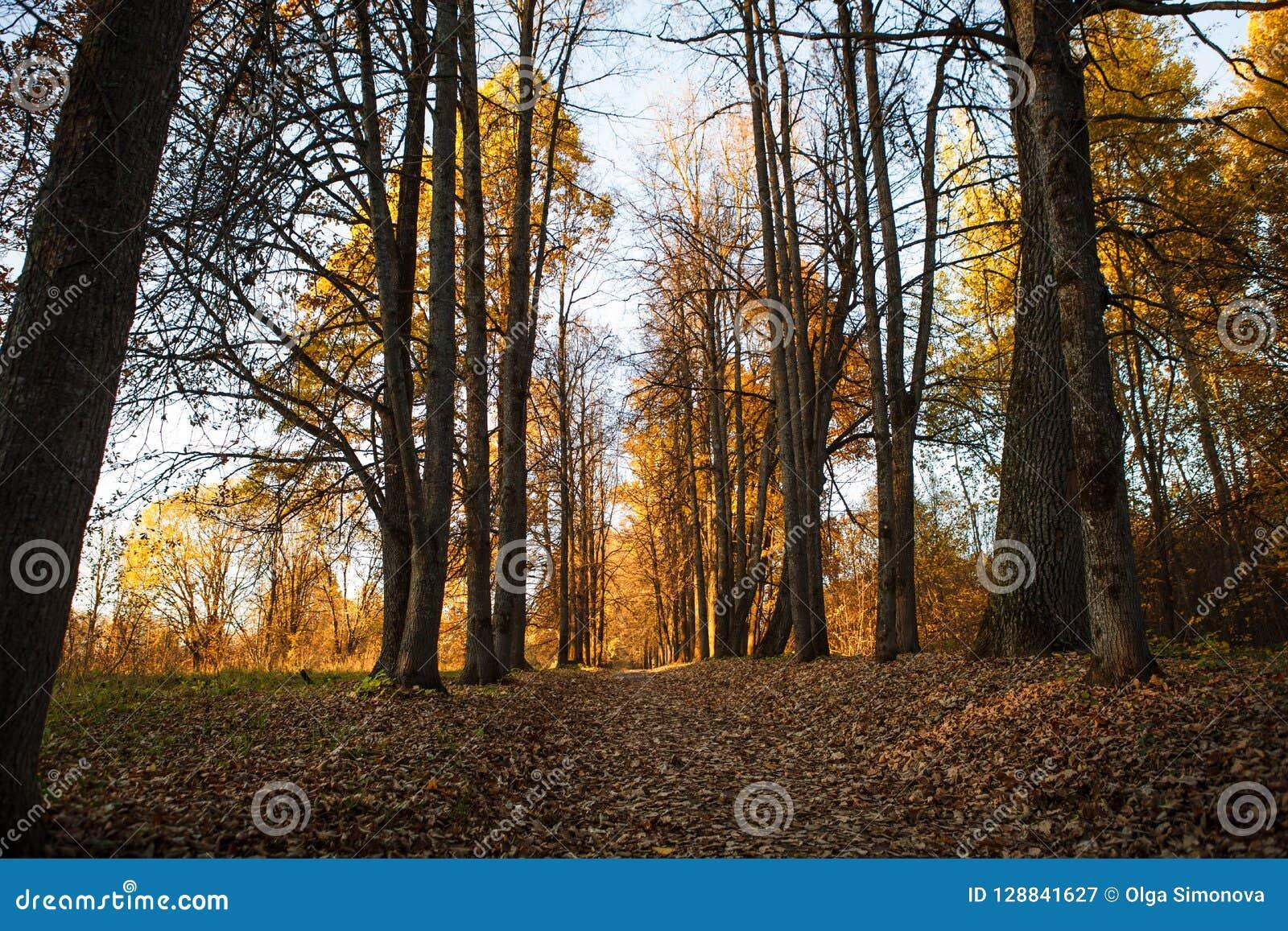 L autunno dorato, alberi gialli al sole, va sotto i piedi