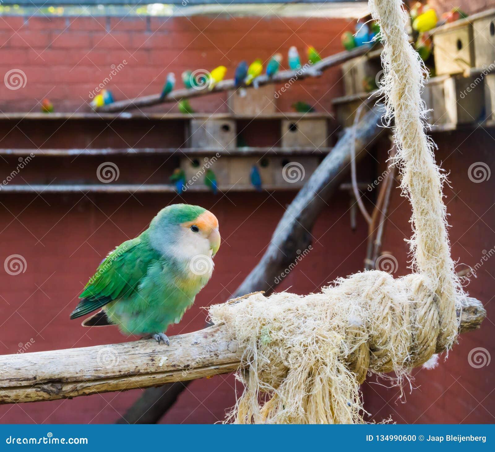 L avicoltura, bella mutazione blu di colore di una pesca ha affrontato il piccioncino che si siede su un ramo nell uccelliera