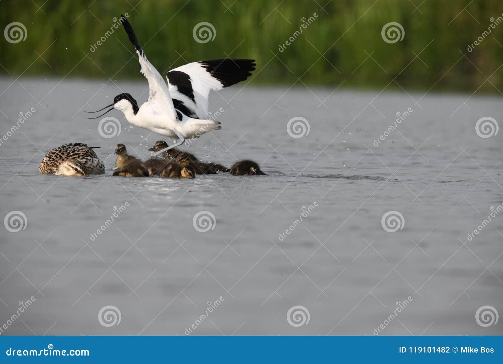 L avocetta adulta sta attaccando le piccole anatre per difendere il suo proprio jung